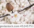almond tree flowers with branches and almond nut 45245751