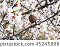 almond tree flowers with branches and almond nut 45245906