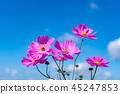 바람에 흔들리는 핑크 코스모스 꽃 45247853