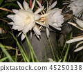 Geckavidin flowers wither in the night with big white flowers in the night 45250138