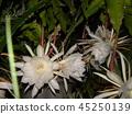 ดอกไม้ Geckavidin เหี่ยวเฉาในเวลากลางคืนด้วยดอกไม้สีขาวขนาดใหญ่ในเวลากลางคืน 45250139
