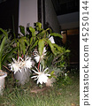 Geckavidin flowers wither in the night with big white flowers in the night 45250144