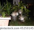 Geckavidin花在夜晚枯萎,白色的大花在夜晚 45250145