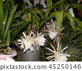 Geckavidin flowers wither in the night with big white flowers in the night 45250146