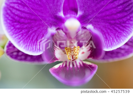 台灣蘭花花。紫色蘭花花包含花蕾,花蕾,花蕾。愛情故事禮物。 45257539