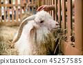 angora goat in the hay 45257585