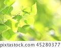 銀杏 銀杏葉 淡綠色 45280377