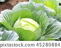 甘藍 包菜 椰菜 45280884
