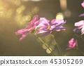 大波斯菊 花朵 花 45305269