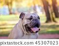 portrait, dog, bulldog 45307023