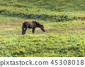 Horse feed in green pastures. 45308018