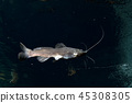 Catfish isolated underwater while diving cenotes 45308305