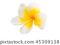 flower plumeria flowers 45309138