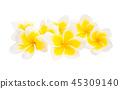 flower plumeria flowers 45309140
