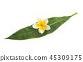 flower plumeria flowers 45309175