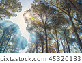Giant old pine trees 45320183