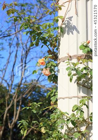 玫瑰花飛馬座 45321570