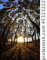 Gangneung pine tree 45323222