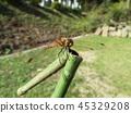 赤蜻属frequens 45329208