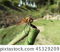 赤蜻属frequens 45329209