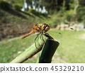 赤蜻属frequens 45329210