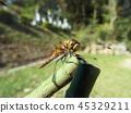 赤蜻属frequens 45329211