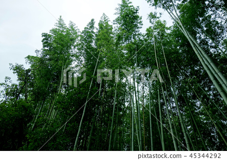 Japan Kyoto green bamboo fence Japan Kyoto green bamboo forest 45344292
