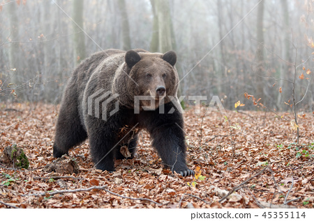 Bear in autumn forest 45355114