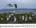 Breeding colony of Kelp Gull  45355315