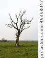 Lone bare tree in a grassland 45358047