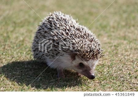 Osanpo Hedgehog 45361849