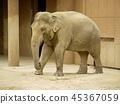코끼리 45367059