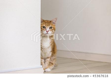 貓盯著牆 45367618