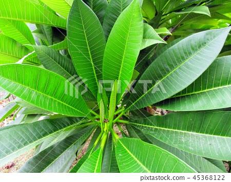 花果植物 45368122