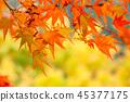 生动地变成红叶的Kaede 45377175