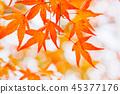生动地变成红叶的Kaede 45377176