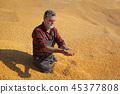农业 作物 玉米 45377808