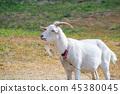 mountain goat mammal 45380045