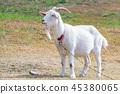 mountain goat mammal 45380065