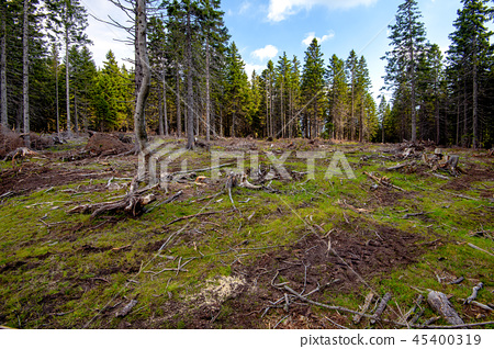 Cut down pest infested forest in mountainous terrain 45400319