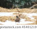 牛市伯勞 伯勞鳥 野生鳥類 45401219