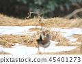 牛市伯勞 伯勞鳥 野生鳥類 45401273