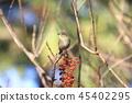西伯利亞bluechat 紅脅藍尾魚 野生鳥類 45402295