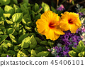 Hibiscus Flowers - Orange Yellow and Red 45406101