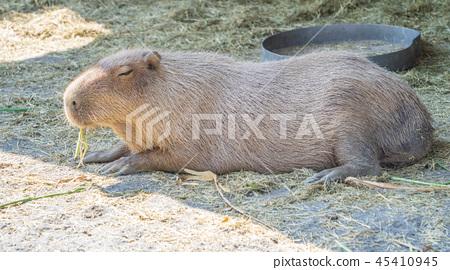 台灣台南可愛水豬水豬金先生老老鼠動物園休息遠足水豚水豚 45410945