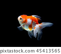 goldfish isolated on a dark black background 45413565