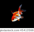 goldfish isolated on a dark black background 45413566