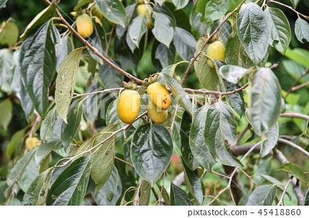 台灣秋天柿子樹和好吃的柿子水果 45418860