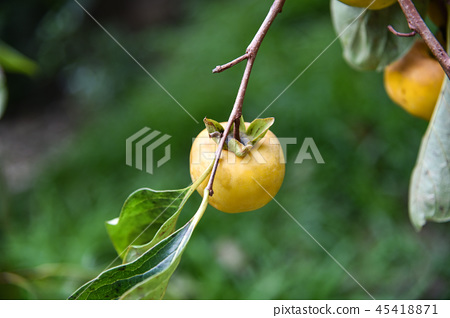 Taiwan autumn persimmon tree and delicious persimmon fruit 45418871