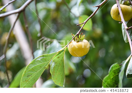 Taiwan autumn persimmon tree and delicious persimmon fruit 45418872